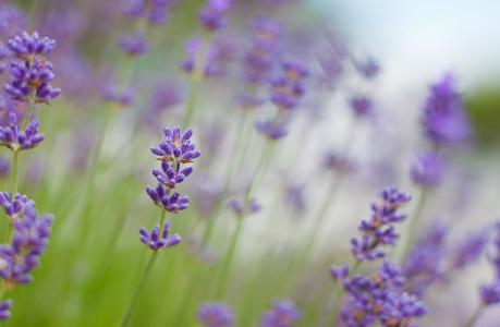 紫色的薰衣草花