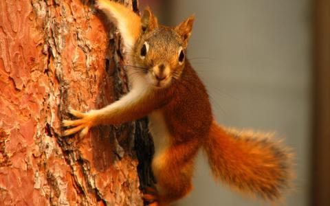 红松鼠在树上