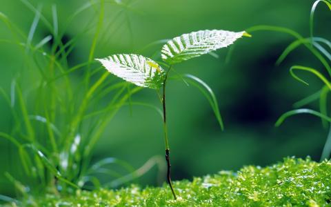 年轻的桦树