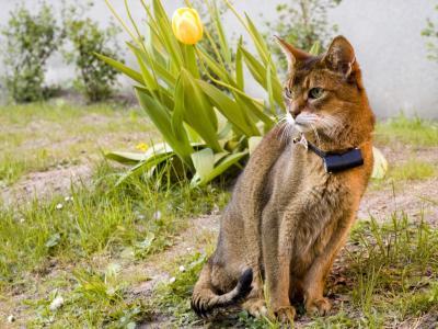 美丽的阿比西尼亚猫
