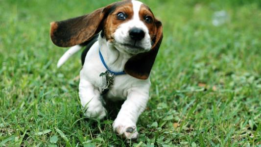 有趣的短腿猎犬小狗运行