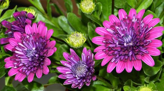 美丽的菊花丁香花