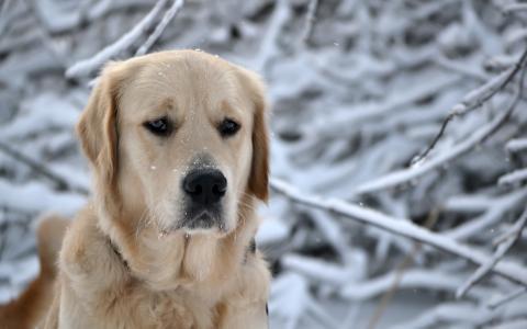 伤心的猎犬