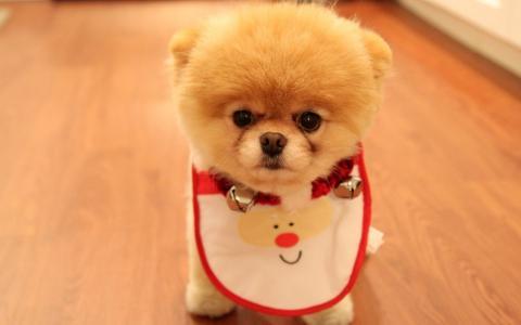 Pomeranian Spitz围裙