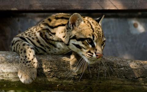 在一个木横梁上挂着的山猫