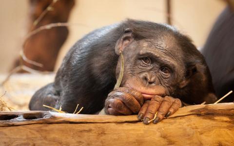 伤心的猴子