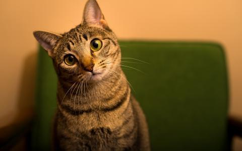 有趣的绿眼睛的自制猫