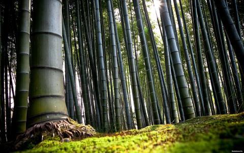 在春天的竹林天气
