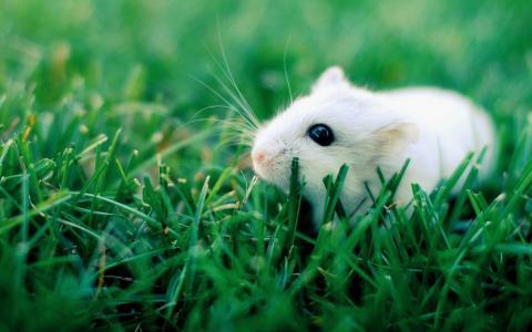 在草地上的白色仓鼠