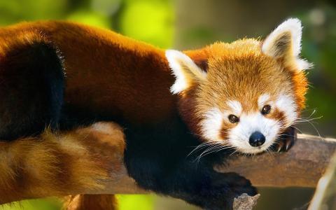 红熊猫躺在树干上