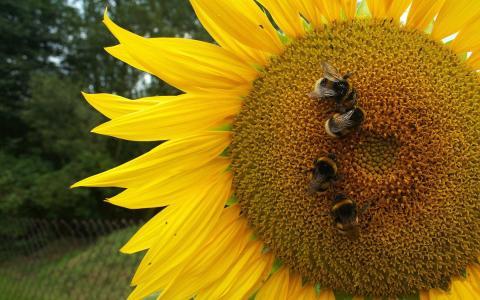 在向日葵上的蜜蜂