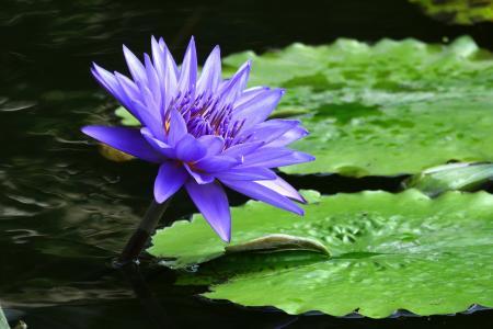 紫罗兰色美丽的花睡莲