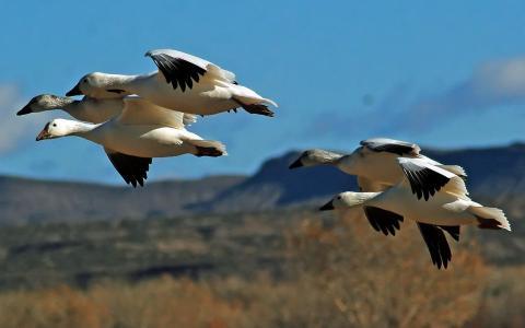 在飞行中的野生鸟类