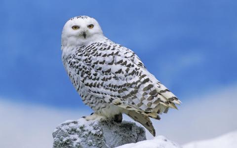 在石头上的极地猫头鹰