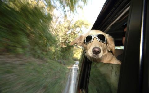 戴着墨镜的狗