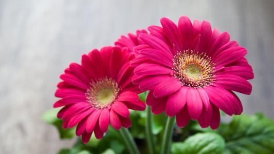 大丁草的粉红色花园的花朵