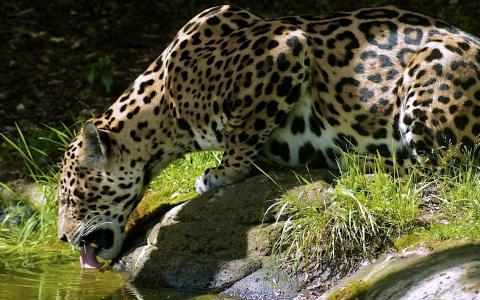 豹子从石头里喝水