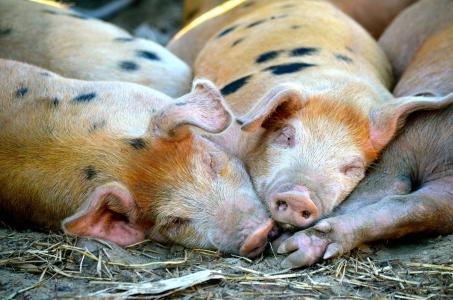 猪在笔中睡觉