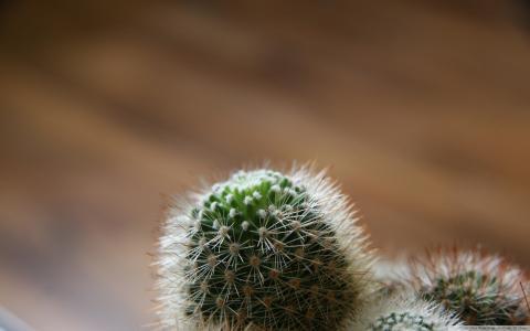 仙人掌芽的宏观照片
