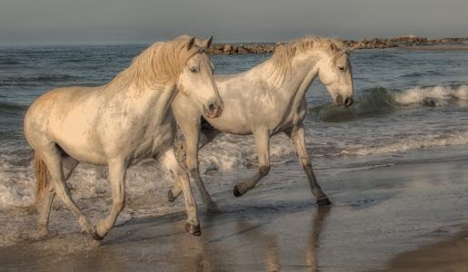 两匹白马在沙滩上沿着沙滩跑