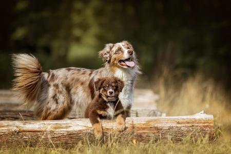 澳大利亚牧羊犬伸出舌头和小狗