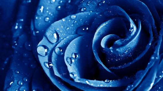 在一朵蓝色玫瑰露水