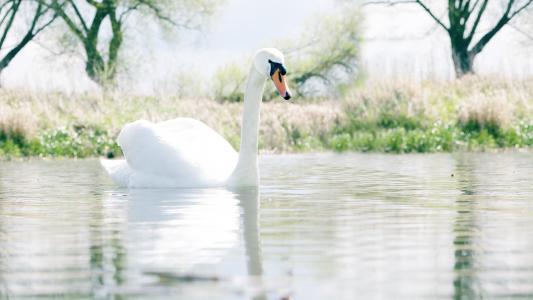 美丽的白色天鹅在湖上静音