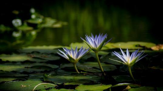 三个美丽的紫罗兰色荷花在水中