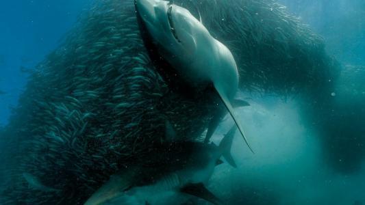 小鱼群中的一对鲨鱼