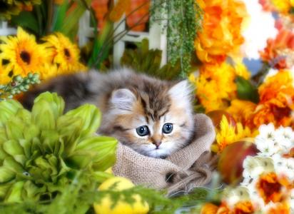 可爱毛茸茸的灰色小猫,大眼睛在花丛中