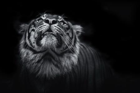 老虎查找黑白照片