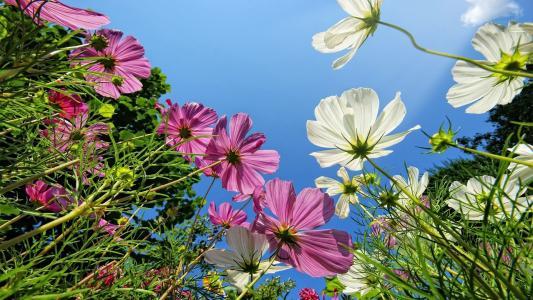 粉红色和白色的雏菊