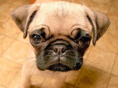 帕格眼睛的哈巴狗