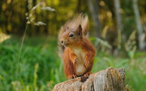 松鼠坐在树桩上