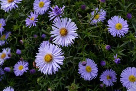 美丽的翠菊花在公园里