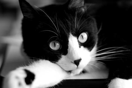 猫特写黑白照片
