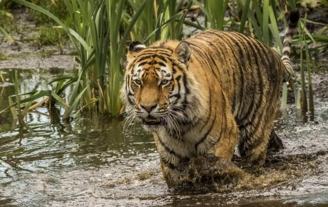 一只大老虎走过浑水