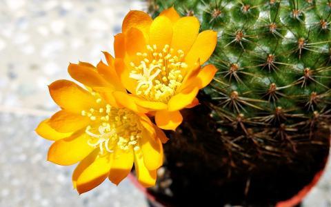 黄色的仙人掌花