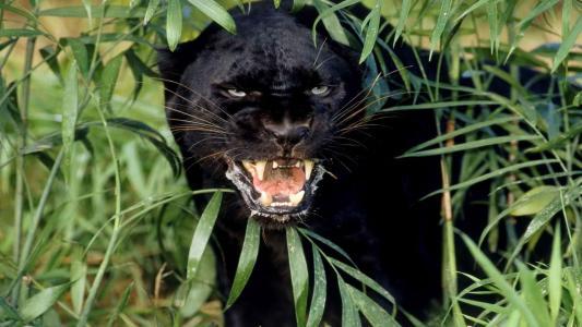 黑豹的外观