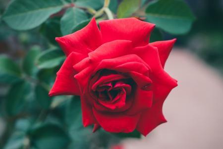艳红的玫瑰花