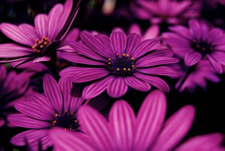 美丽的淡紫色花朵非洲雏菊