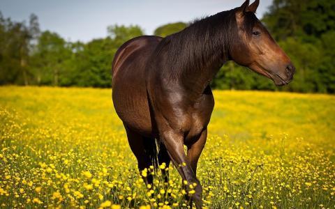 这匹马在黄色的田野上运动
