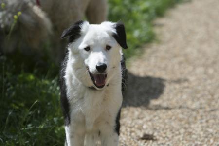 美丽的博德牧羊犬站在路上