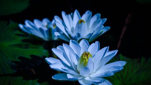 蓝色的花招标莲花在池塘里