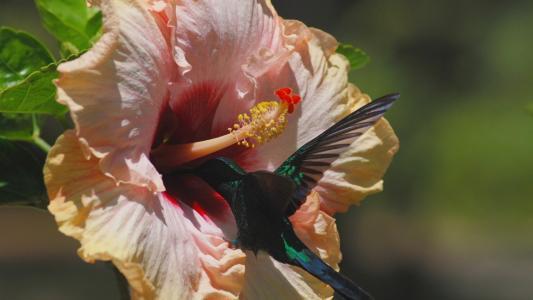 在一朵花的蜂鸟