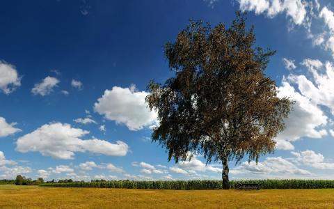 孤独的桦树