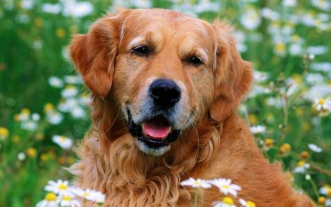 毛茸茸的金毛猎犬