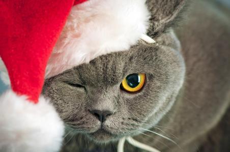 英国猫在新年帽子眨眼