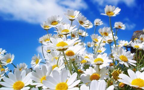 春黄菊的家庭