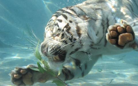 老虎在水下